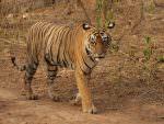 Bengal Tiger © J Thomas