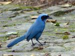 Turquoise Jay © J S Bridges