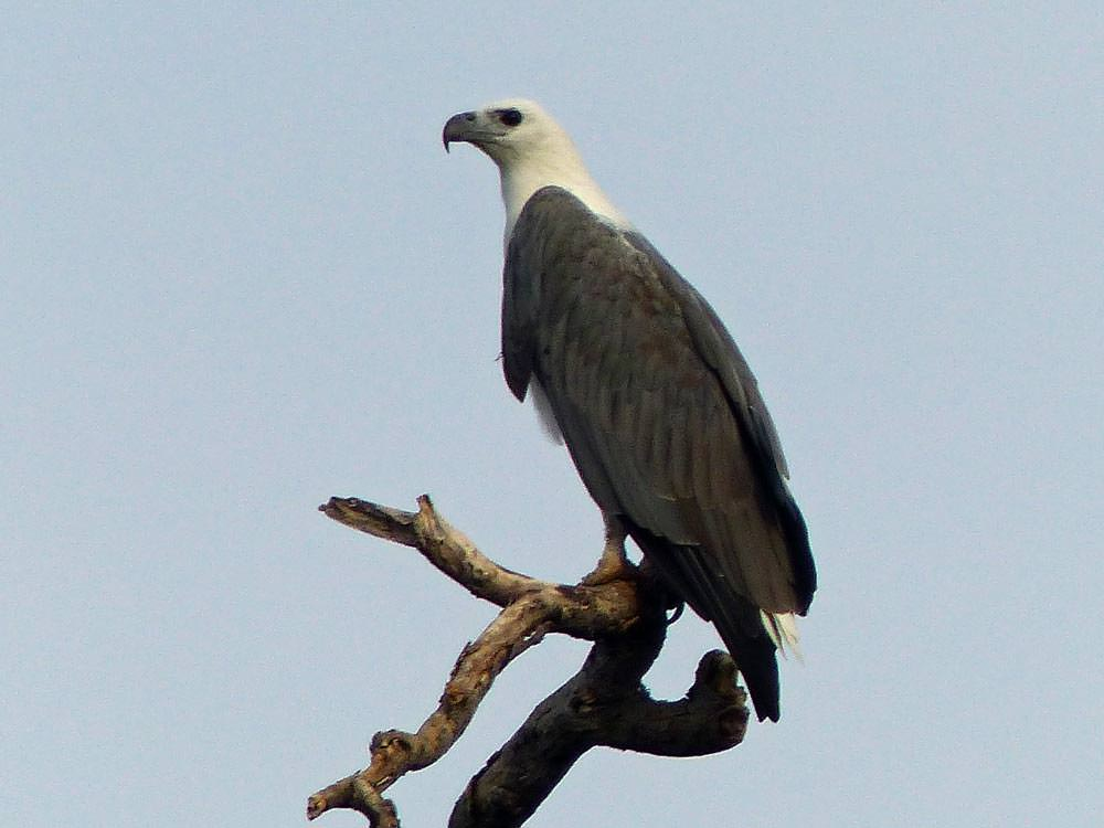 White-bellied Sea Eagle © J Thomas