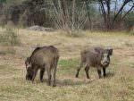 Wild Boar © K Claydon