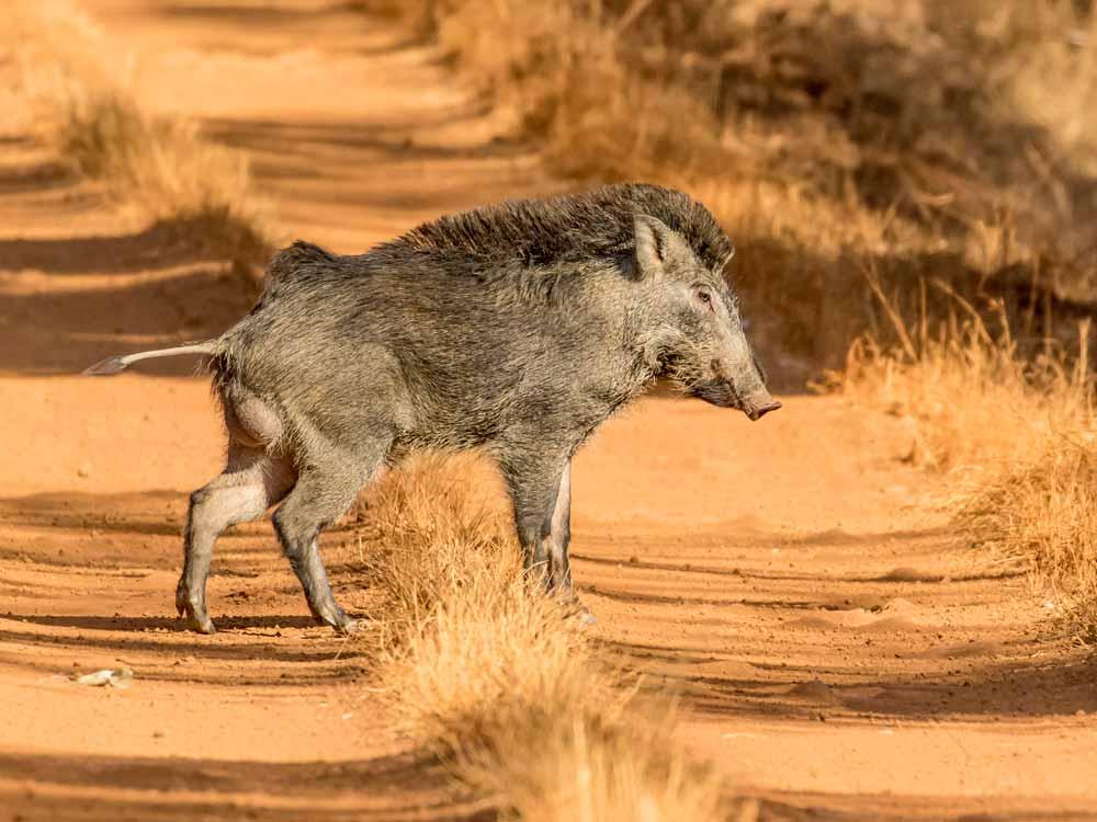 Wild Boar © P Clarke