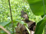 Yellow-eyed Babbler © J Thomas