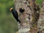 Yellow-tufted Woodpecker © K Barnes