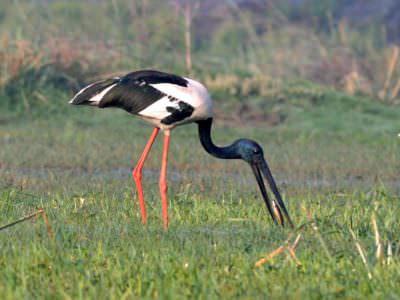 Black-necked Stork © L Sikarwar