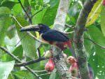 Collared Aracari © N Watson