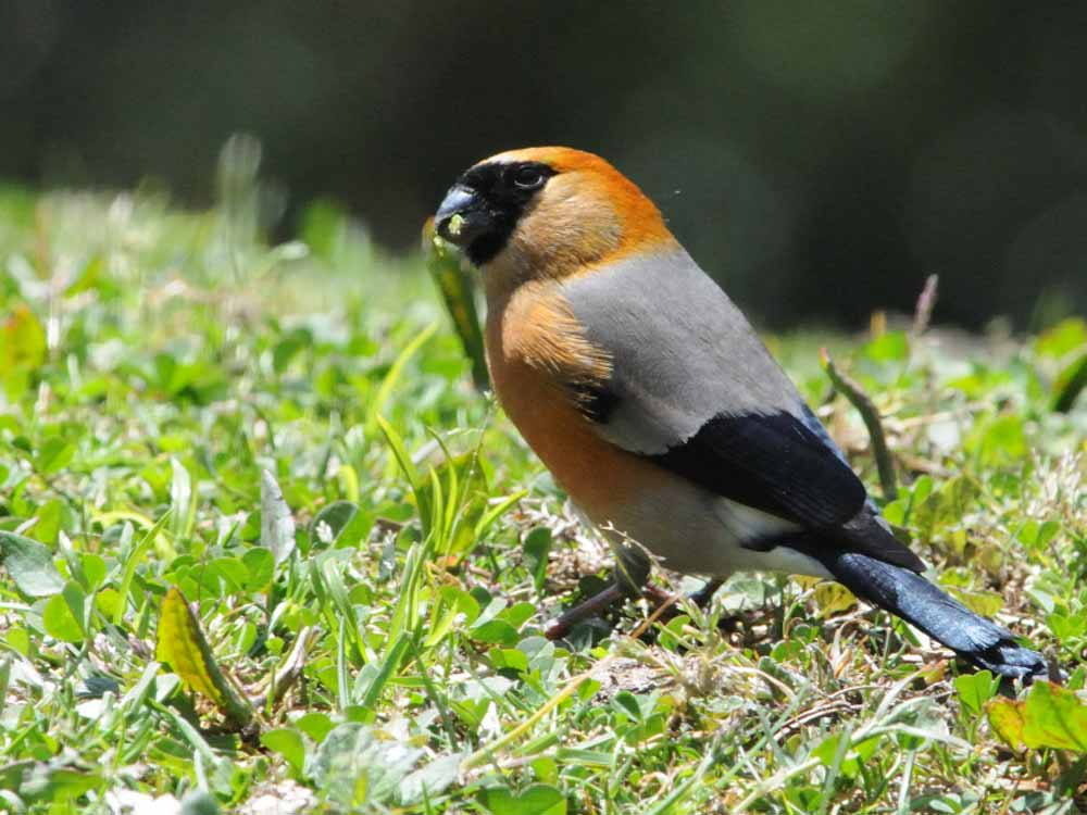 Orange-headed Bullfinch © P Lobo